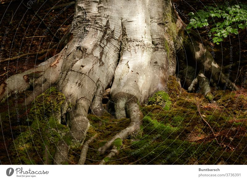root of a large beech beeches Root Moss leaves tree Deciduous tree great mightily Nature Environment flaked Forest Plant Exterior shot Beech wood Tree trunk