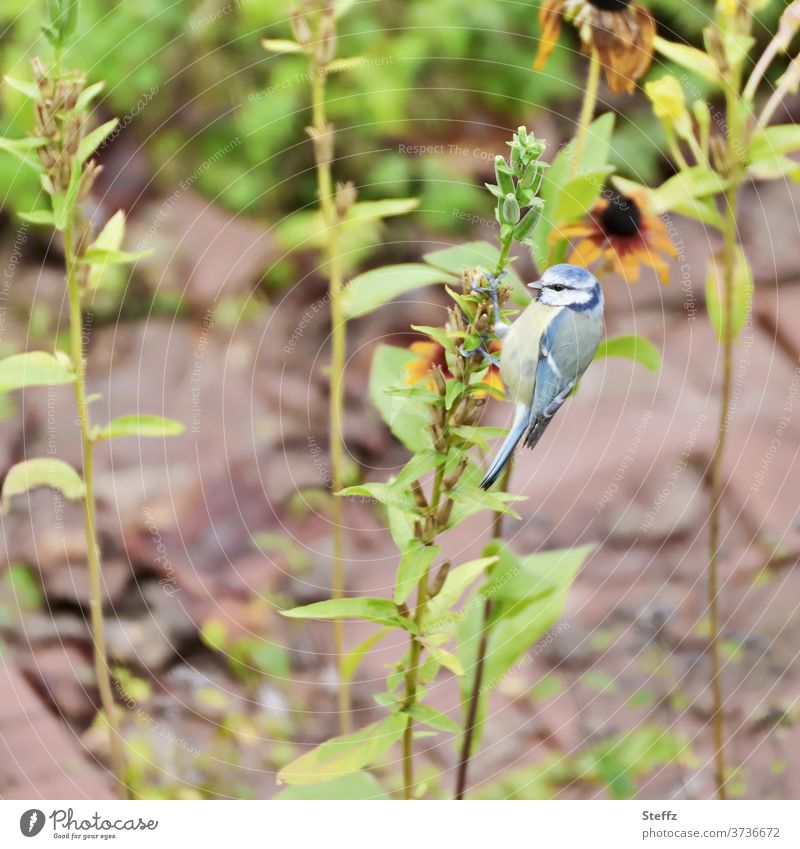 A blue tit plays woodpecker Tit mouse birds songbird natural Cute Easy Animal Ease Free Observe Outdoors Small Blue Tits plumage instant Ornithology late summer
