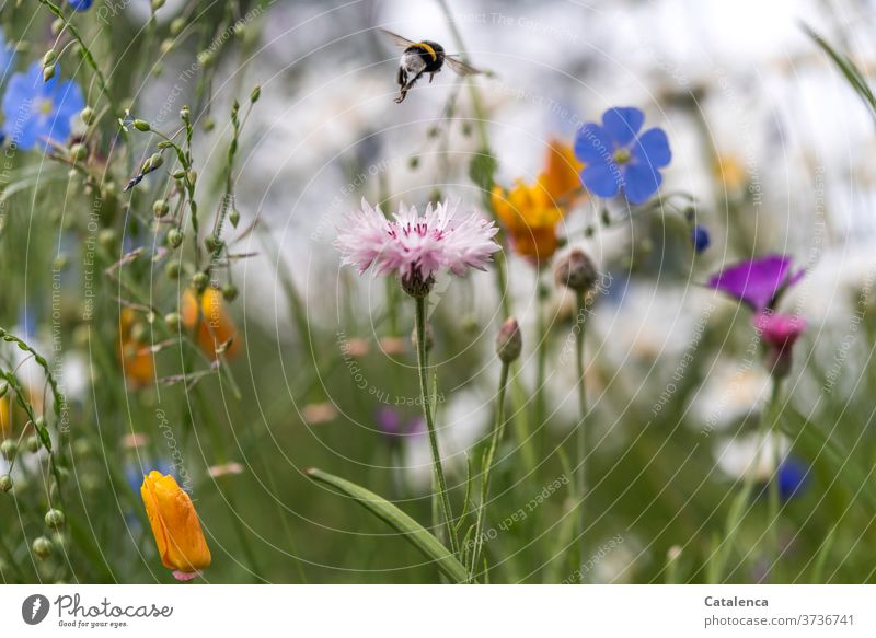 From one little flower to the next, the bumblebee in the flower meadow Nature flora fauna Plant flowers meadow flowers Flower meadow Cornflower Linen Flax Poppy