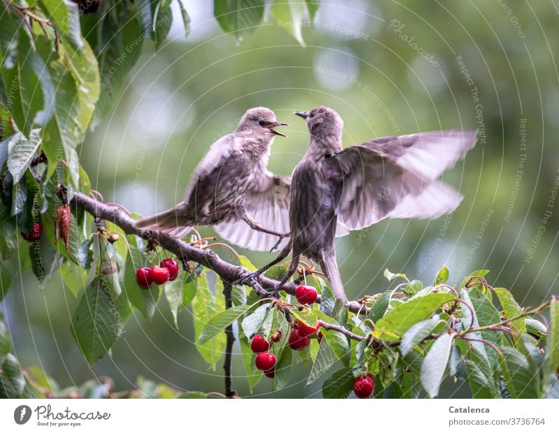 Dynamically not good for eating cherries Gray fauna flora Nature Observe To feed Sit spring tree green Red Stone fruit Cherry Cherry tree Branch Plant Stare