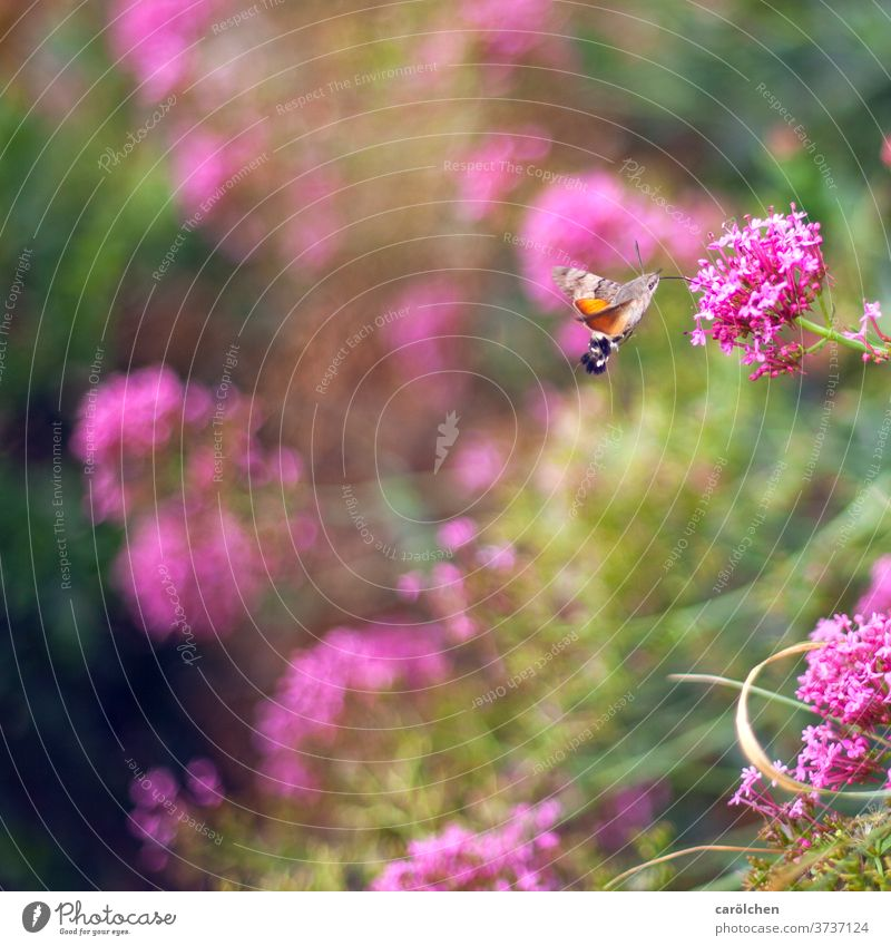 Hummingbird butterfly on wild flowers dovetails Hummingbird Age blurred background Insect Nature collect nectar Nectar amass Trunk animals Garden butterflies