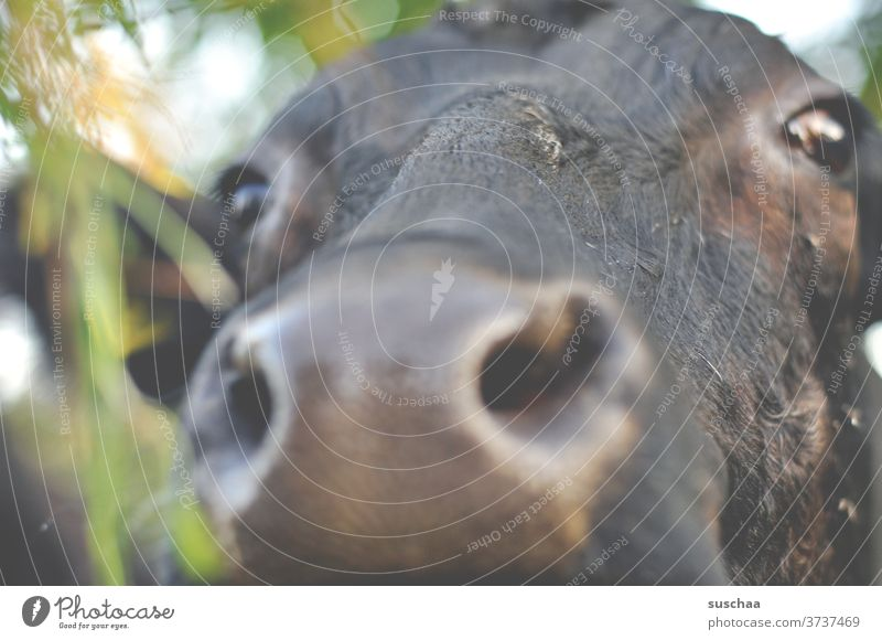 cow, close by.. Mouth cattle Curiosity Looking Willow tree Agriculture Animal portrait Close-up Farm animal Pelt Eyes Nose Snout Animal face Cow head chill
