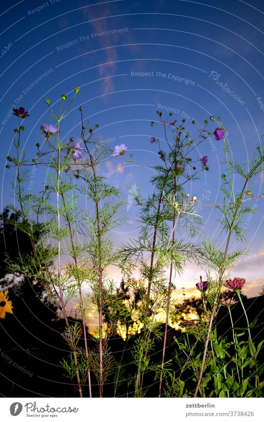 Cosmea with flashes Branch tree flowers blossom bleed Relaxation holidays Garden Grass Sky allotment Garden allotments Deserted Nature Plant Lawn tranquillity