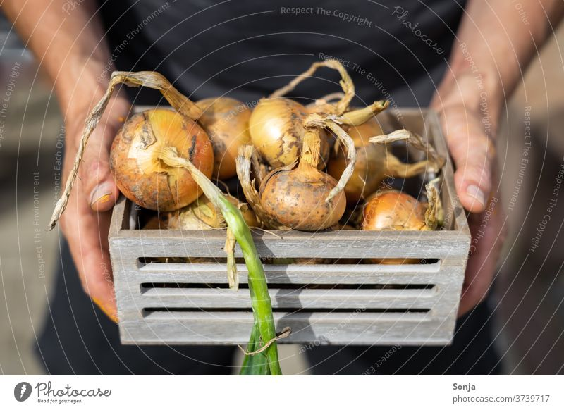 Man holds freshly harvested onions in a grey wooden box in his hands Onion Wooden box stop natural Raw Vegetable Healthy Vegetarian diet Organic green Mature