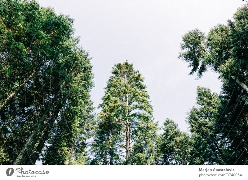 Pine tree tops in the mountain forest adventure background beautiful beauty branch calm day ecology ecosystem environment evergreen explore foliage greenery