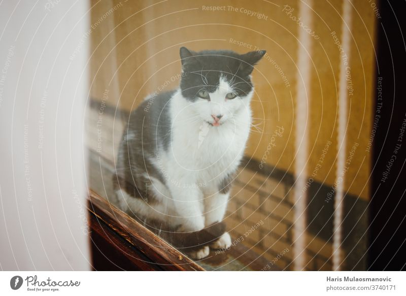 Cat looking thru the window, cat with tongue black playful vintage animal cute mocking quarantine adorable background beautiful domestic eyes face feline fluffy