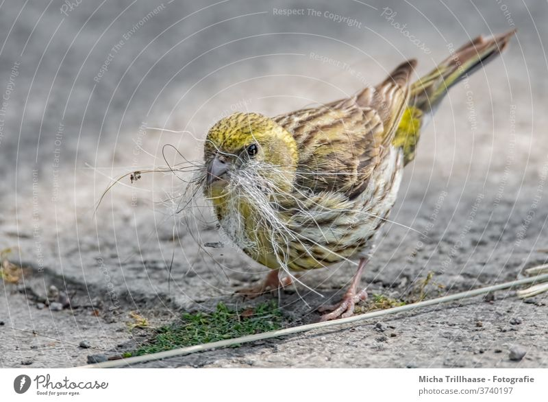 Yellowhammer collects nesting material emberiza citrinella birds Wild bird Head Beak peer Legs Claw feathers Plumed Grand piano Nest-building amass To hold on