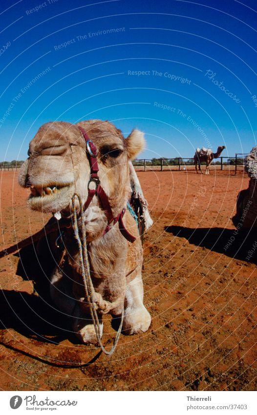 Desert Australia Camel