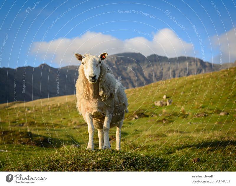 Blue Green Landscape Animal Mountain Grass Spring Rock Gold Wild animal Free Beautiful weather Happiness Cute Joie de vivre (Vitality) Infinity