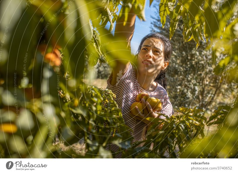 woman picking peaches in field harvest organic farming fruit gardening orchard female fresh farmer outdoor nature ripe agriculture young crop girl tree natural