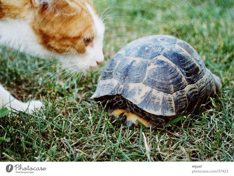 Kaplumpaha Curiosity Cat Turtle Odor Don't stir me up. Caution Friendship? thick shell protective shield lurk danger