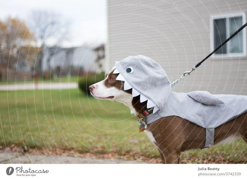 Border Collie dog dressed in a shark costume for Halloween border collie rescue dog leash Shark puppy walk Neighborhood Teeth Hallowe'en halloween Collar fall
