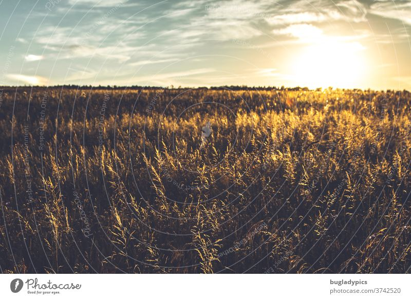 Field in the setting sun. Meadow at sunset. grasses Grain Grain field Evening sun evening sunlight Sunset Sunbeam Sunlight sunlight rays evening mood Summer