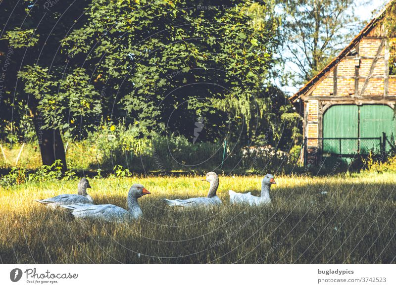 Geese lying in a meadow. In the background a big tree and a half-timbered house with a green gate. Goose geese Keeping of animals Free-range rearing