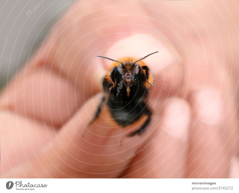 holding a bumblebee with fingers garden bumblebee flower nature green insect white summer beauty fly black macro yellow animal closeup nectar hand human spring