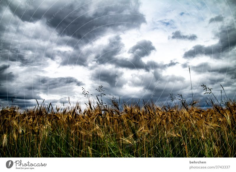 How about a grain, or maybe a wheat? Grain field Cornfield Ear of corn Agriculture Exterior shot Environment Nature Field Summer Clouds Sky Landscape Wheat