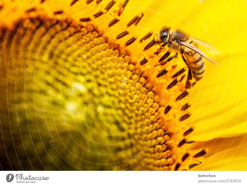 bee Nectar Honey Pollen Animal Sunflower Close-up Meadow pretty Landscape Garden Bumble bee Bee Flying Grand piano Blossom leave Environment Warmth pollen