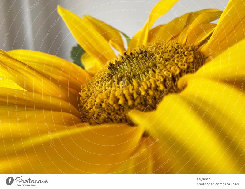 sunflower Sunflower Yellow Summer luminescent flowers Plant bleed Nature Close-up Colour photo Exterior shot Macro (Extreme close-up) Garden Day Deserted flaked