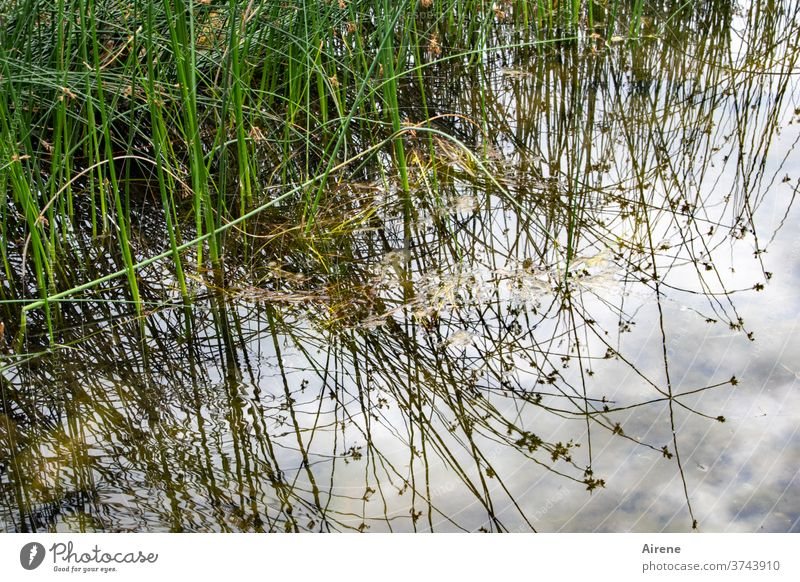 by land and sea Water Grass Lakeside River bank Pond Nature naturally Light blue White Green Brown Lush Reflection Water reflection Twig Common Reed Elements