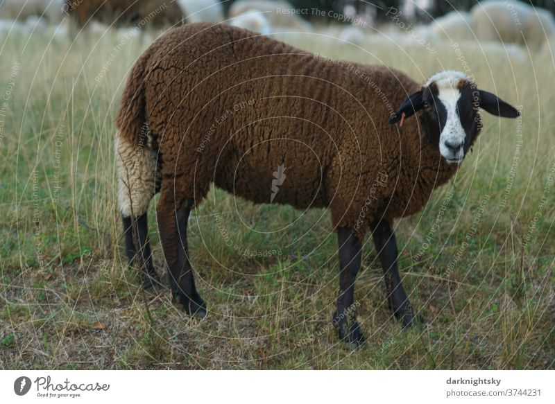 Brown sheep on a pasture Meadow Exterior shot Nature Animal Willow tree Muzzle country ears Farm horns Wild portrait Obstinate sovereign Pelt Head horned Buck