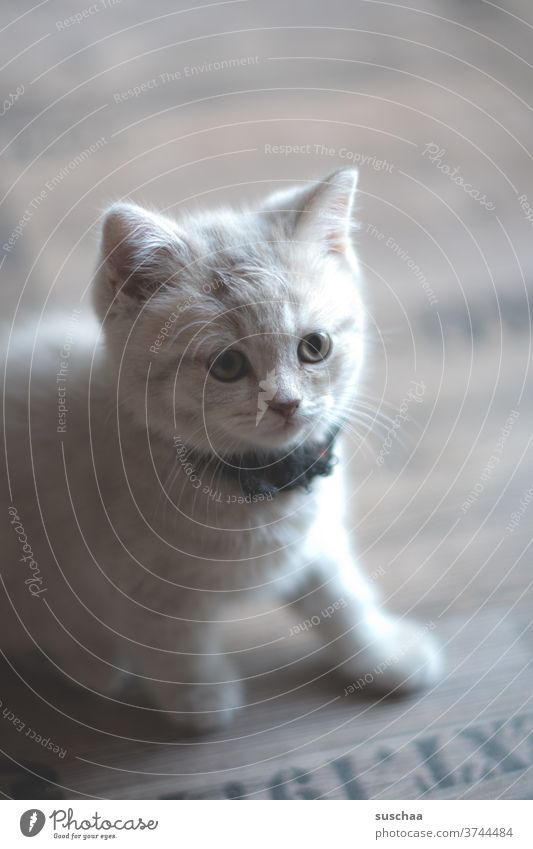 cute little kitty cat (2) Cat Baby Kitten tom Small youthful Sweet Cute Animal Pet Ears peer Whiskers roomier Love of animals inquisitorial explore cautious