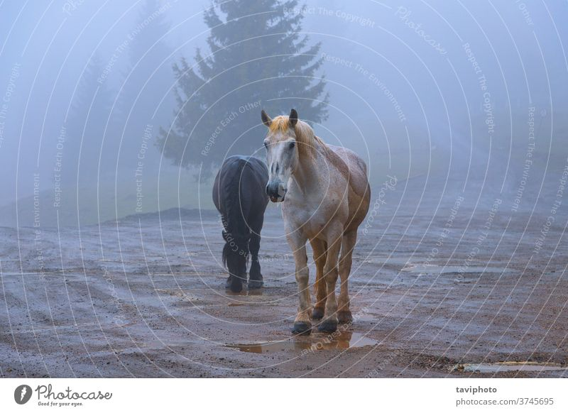 feral horses in Apuseni mountains mane couple animal nature brown mammal free bad weather autumn mist fog beautiful transylvania outdoor behavior traditional