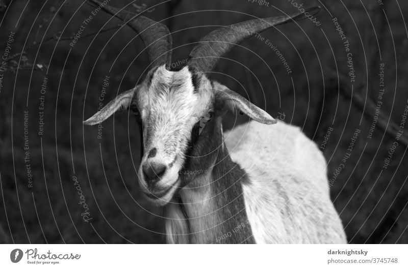 Portrait of a billy goat on a pasture Meadow Exterior shot Nature Animal Willow tree Muzzle country ears Farm horns Wild portrait Obstinate sovereign Pelt Head