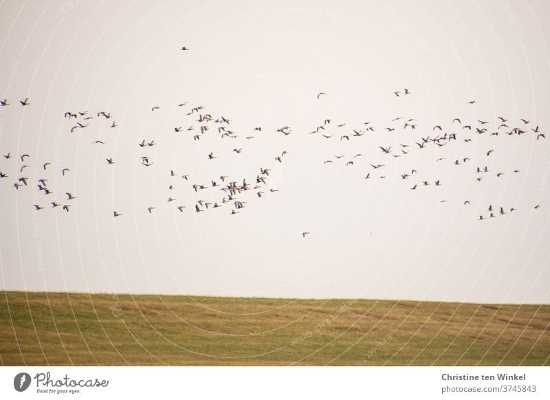 dynamic | wild geese flying over the dike birds bird migration Flight of the birds Wild animal Wild bird Nature Dynamic Loud chatter shout Animal Many