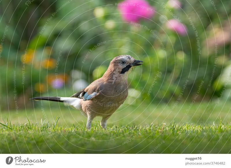 Jay in the garden birds Animal Exterior shot Colour photo Wild animal 1 Nature Day Deserted Animal portrait Grand piano Shallow depth of field Animal face