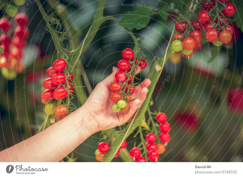 Tomatoes on a tomato plant Harvest tomatoes Red Fresh organic Food extension fruit by hand