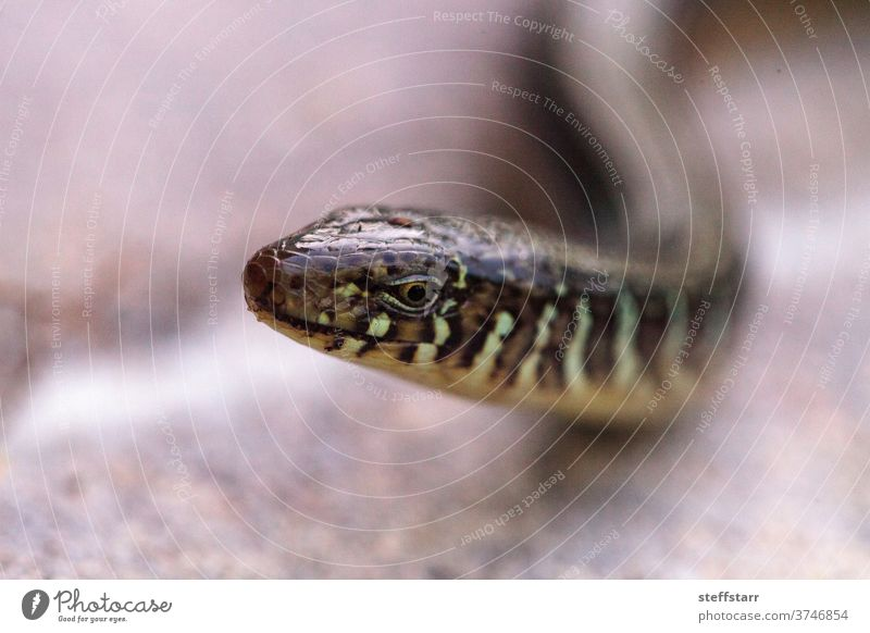 Island glass lizard Ophisaurus compressus is a legless lizard Legless lizard reptile slither scales animal nature flower lizard on a flower beauty in nature