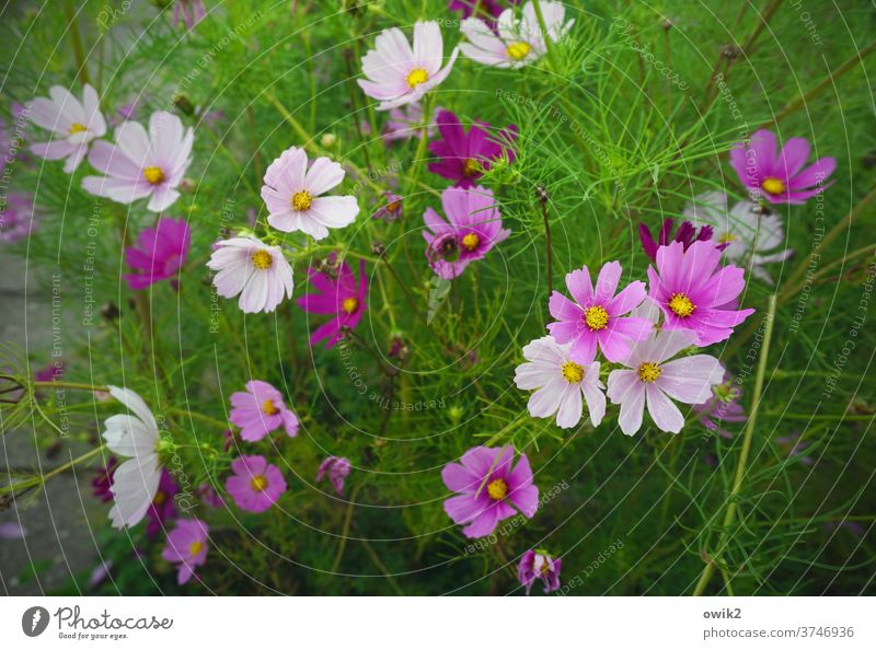 Landscape in three colours Summer Blossom leave bleed bushes flowers Meadow Bright Cosmos Sky Flower meadow natural Together green Idyll Hope Fresh purple
