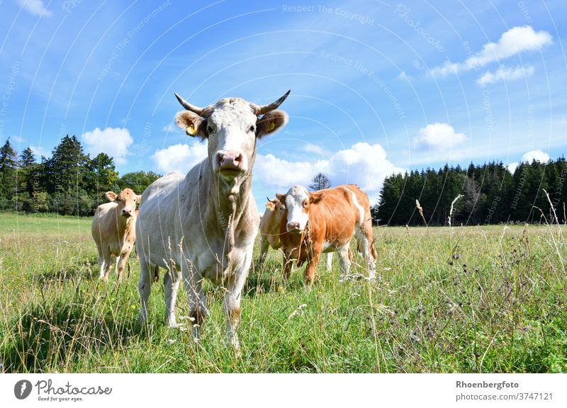 happy cows on a lush pasture in the Rhön chill Milk Cheese Willow tree Summer Grass grasses Thuringia kaltennordheim klings Cattle Domestic cattle bos taurus