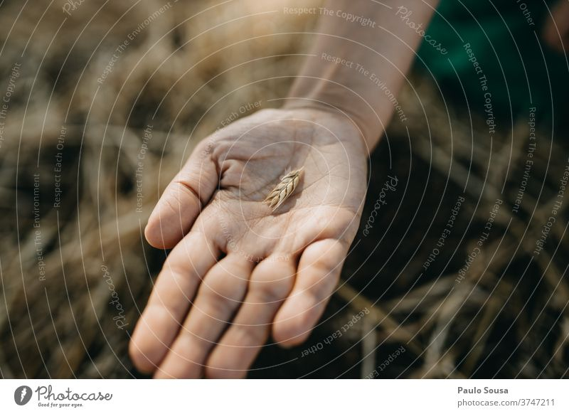 Close up hand holding wheat ear Wheat Ear of wheat Wheat ear Cereal Field Wheatfield Agriculture Exterior shot Plant Nature Summer Grain Food Day Harvest