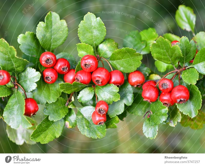 red fruits of the hawthorn Red Hawthorn Berries crategus shrub tree September Summer Autumn Branch Twig Plant Nature Copy Space depth of field Deserted