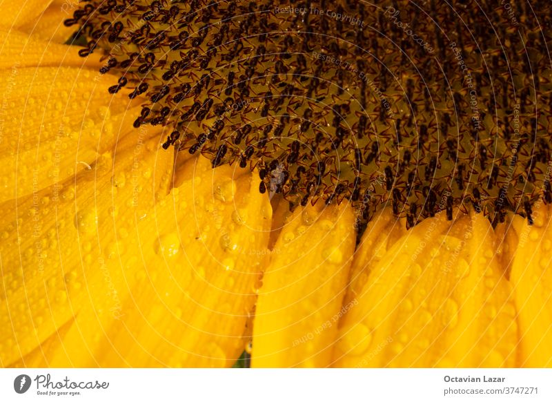 Sunflower closeup shot with rain water droplets macro wet drops vibrant orange garden seed bright flora agriculture natural beauty summer floral beautiful