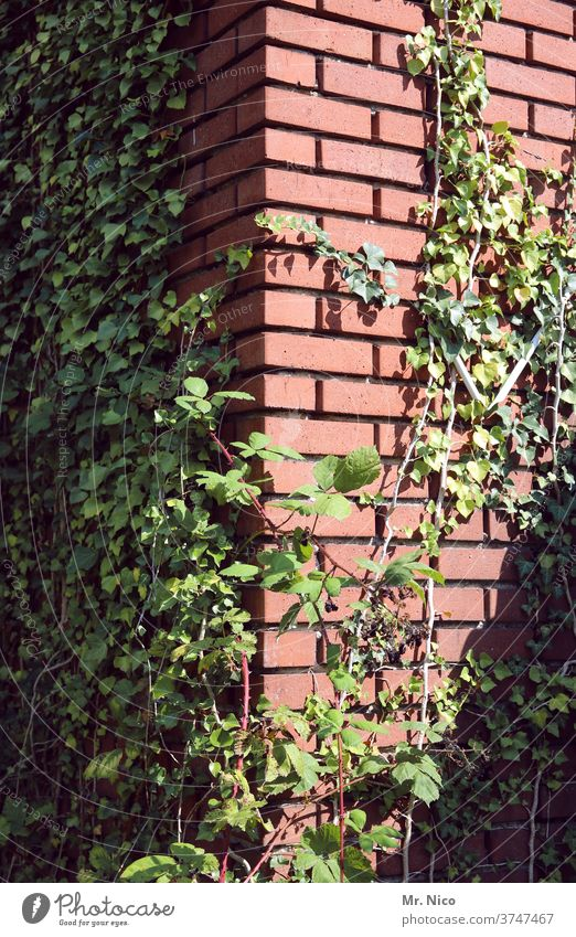 Ivy growing up on a building Plant green flaked Nature Tendril Overgrown Creeper Growth Facade Wall (barrier) Wall (building) House (Residential Structure)