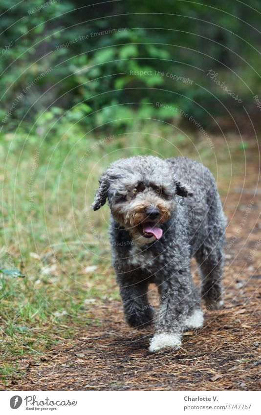 Lotte is worried Dog Pet Mammal curly fur Curl show tongue Cute Colour photo Tongue Animal Exterior shot Animal portrait Looking Nature Day 1 Brown Gray green