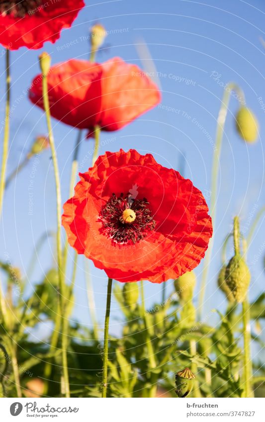 Poppy flower blossom Poppy blossom poppies Nature Summer Red flowers bleed Plant Meadow Wild plant Poppy field Environment Corn poppy