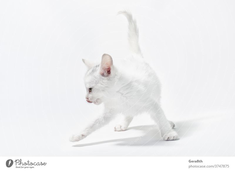 white little playful kitten on a light background adorable animal baby backdrop cat cheerful clean color curious cute domestic domestic cat empty feline free