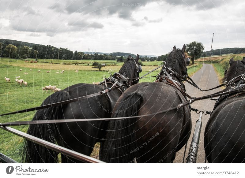 A carriage ride with 3 horses past fields and sheep Horse's head meadows Halter Landscape Exterior shot Farm animal Group of animals Grass Deserted Animal