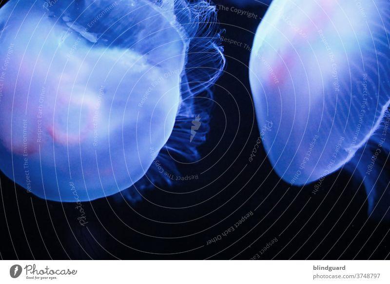Jellyfish in pink and blue tones against a black background Cnidarian Nettle animal medusa Medusa Tentacle jelly gelatinous salt water nettle venomously