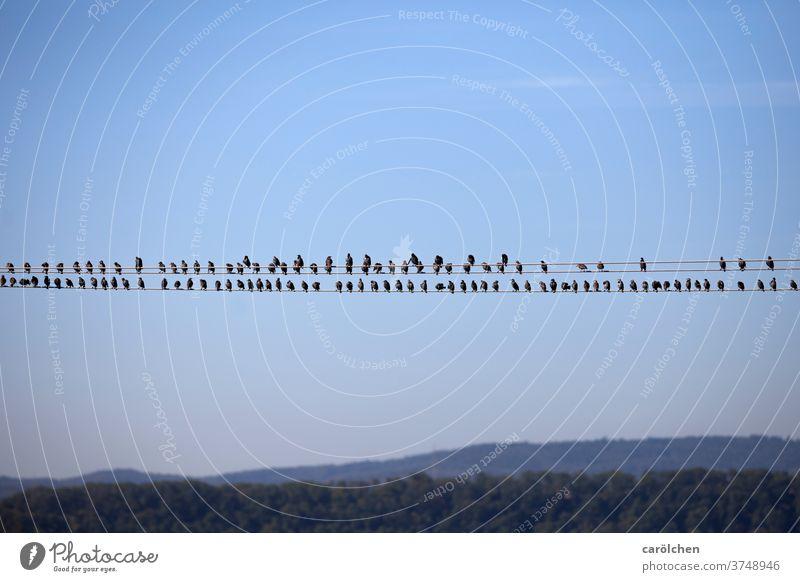 In rank and file - birds on power line gaze Starling Transmission lines Row Break Blue sky Sit take a break