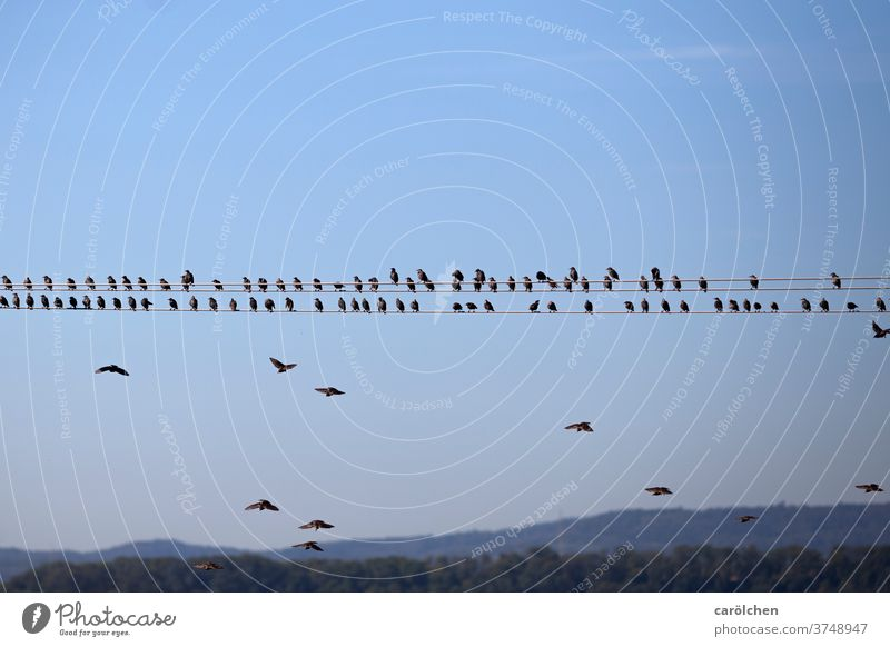 Approach - Birds on power line birds gaze Transmission lines Sit Flying approach Break Blue sky Nature rank and file Row