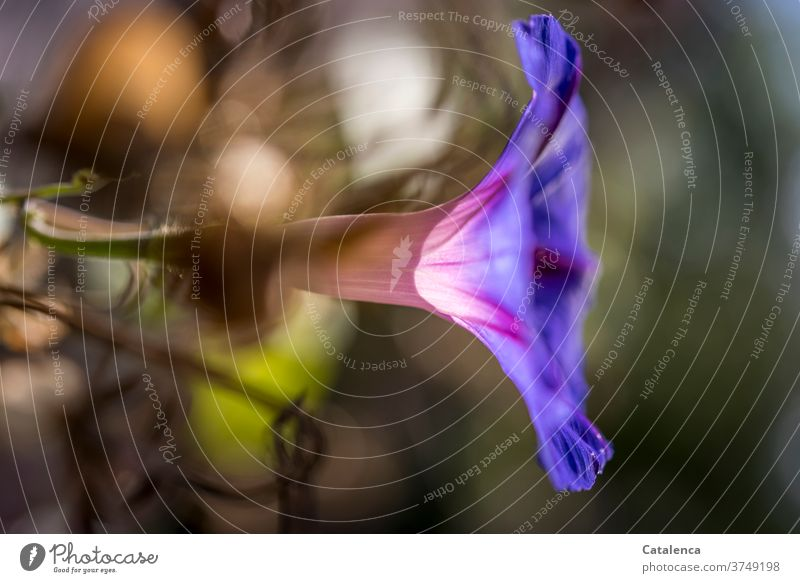 The blossom of the blue morning glory Nature flora Blossom Flower fade Garden Plant blue gorgeous winds splendid winch thrive and prosper Green Orange purple