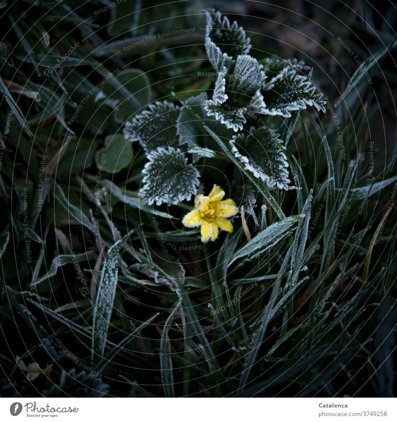 Hoarfrost on the meadow, stinging nettle leaves, blades of grass, a yellow flower can be seen Nature Plant Meadow Grass blade of grass flaked Weed flowers