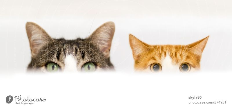 double pack Domestic cat Cat Looking Watchfulness Bathtub Hide Playing Joy Funny Edge of a plate Aggressive Pet Animal face already Cute Division