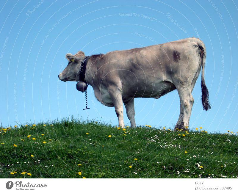 Meadow Mountain Transport Switzerland Alps Cow Alpine pasture Cattle
