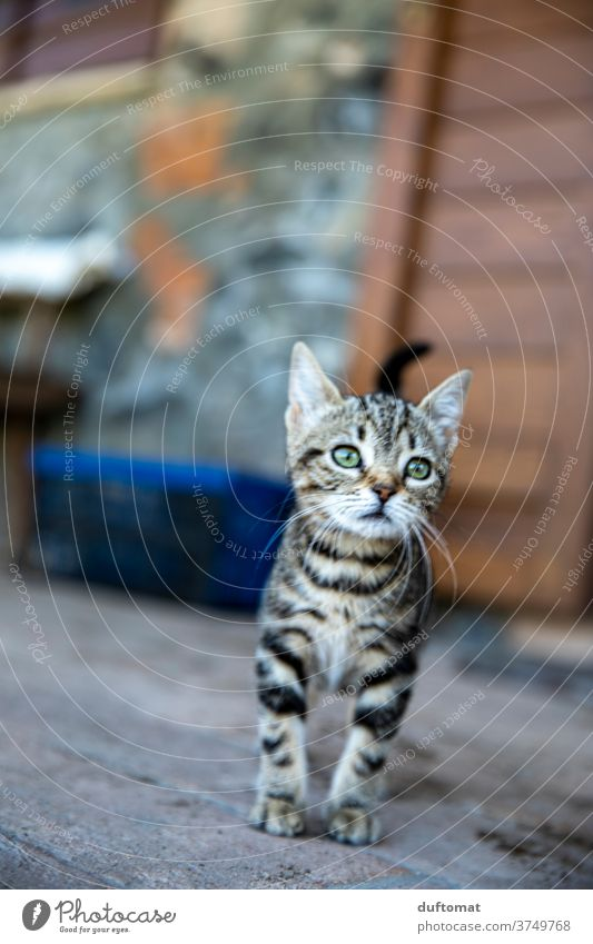 Curious cat child Cat Kitten Cat eyes feline cats Cat's head inquisitorial curious green eyes parlourieger Striped Small youthful Child Animal Animal child