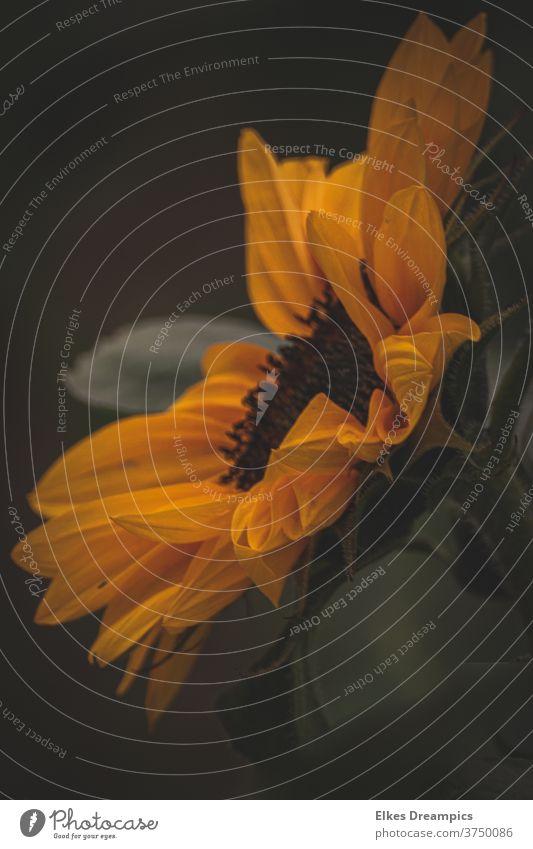sunflower Sunflower summer flower Yellow Summer flowers